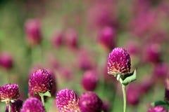 i fiori gradicono il cardo selvatico dentellare Immagini Stock