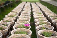 I fiori grandiflora di Portulaca Immagine Stock