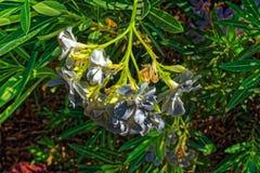 I fiori grigi bianchi si chiudono su fotografia stock libera da diritti