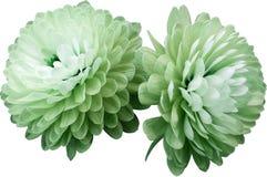 I fiori hanno isolato il crisantemo bianco verde primo piano bianco del fondo Nessun ombre Per il disegno immagini stock libere da diritti