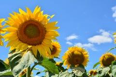 i fiori isolati espongono al sole il bianco Immagini Stock