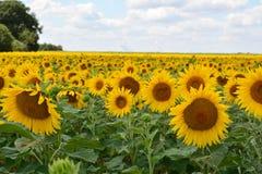 i fiori isolati espongono al sole il bianco Fotografia Stock Libera da Diritti