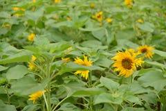 i fiori isolati espongono al sole il bianco Fotografie Stock