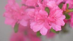 I fiori la serie, macro dell'estate dei fiori rosa del cespuglio del rododendro, il fiore deve essere tenuto bagnati archivi video
