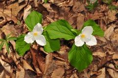 I fiori luminosi di due grandi piante bianche del trillium in una foresta della molla Immagini Stock