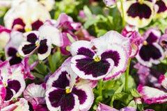 I fiori magenta della pansé sono blommong nel giardino immagini stock libere da diritti