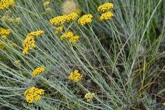 I fiori Mediterranei si chiudono su Fotografie Stock