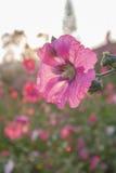 i fiori nel giardino fiorisce il rosa della malvarosa del vino del Reno dell'agrifoglio Fotografie Stock