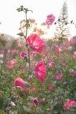 i fiori nel giardino fiorisce il rosa della malvarosa del vino del Reno dell'agrifoglio Fotografia Stock