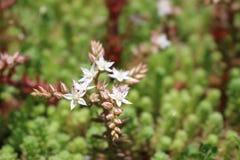 I fiori nel giardino lavanda della vegetazione Immagini Stock