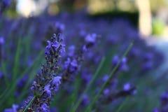 I fiori nel giardino vegetazione Lavanda Immagini Stock Libere da Diritti