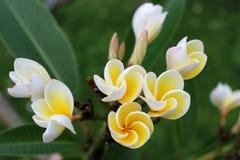 I fiori in piena fioritura Fotografia Stock