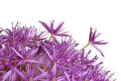 I fiori porpora della cipolla ornamentale Globemaster ibrido hanno isolato la o Immagine Stock Libera da Diritti