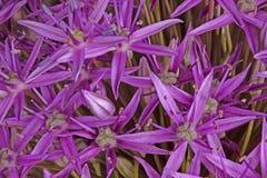 I fiori porpora della cipolla ornamentale Globemaster ibrido riempiono la f Fotografia Stock