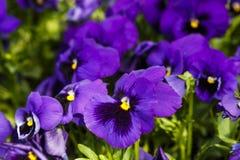 I fiori porpora della pansé sono blommong nel giardino fotografia stock
