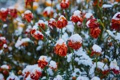 I fiori recenti di autunno hanno coperto la prima neve I petali congelati dal freddo L'inverno sta venendo fotografia stock libera da diritti