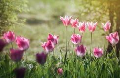 I fiori rosa dei tulipani si chiudono su Fotografie Stock