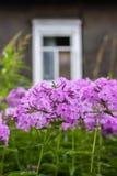 I fiori rosa del subulata del flox pianta la crescita nel parco dell'estate in campagna immagine stock
