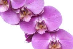 I fiori rosa dell'orchidea si chiudono su fotografie stock