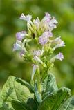 I fiori rosa della pianta di tabacco splendono verso la fine del sole di pomeriggio Fotografia Stock