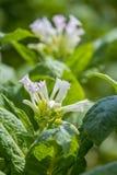 I fiori rosa della pianta di tabacco splendono verso la fine del sole di pomeriggio Immagine Stock Libera da Diritti