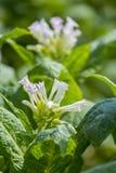 I fiori rosa della pianta di tabacco splendono verso la fine del sole di pomeriggio Fotografie Stock