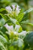 I fiori rosa della pianta di tabacco splendono verso la fine del sole di pomeriggio Immagini Stock