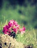 I fiori rosa di alpino sono aumentato sulla collina della montagna Fotografia Stock