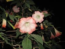 I fiori rosa di Brugmansia fiorisce il primo piano fotografia stock