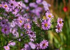 I fiori rosa di caduta degli aster si chiudono su Immagine Stock