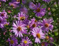 I fiori rosa di caduta degli aster si chiudono su Fotografie Stock