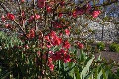 I fiori rosa fioriscono sul cespuglio di un letto di fiore, grandi foglie dei fiori si sviluppano vicino immagini stock
