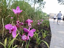 I fiori rosa fuori della zona umida di Sungei Buloh riservano il centro dell'ospite di estensione Fotografia Stock Libera da Diritti