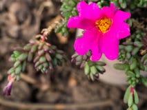 I fiori rosa hanno stami gialli nel mezzo Foglie verdi, piccole, succulente Fotografie Stock