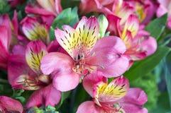 I fiori rosa luminosi di alstroemeria si chiudono su Immagini Stock