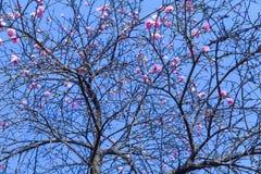 I fiori rosa lunghi della pesca nel parco in primavera sono bei immagine stock libera da diritti