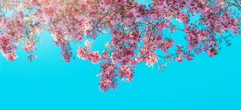 I fiori rosa sbocciano sull'albero sopra cielo blu fotografie stock