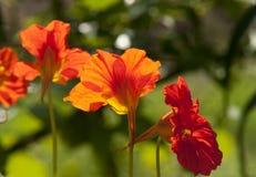 I fiori rossi del nasturzio si chiudono in su Fotografia Stock Libera da Diritti