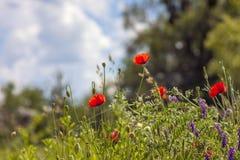 I fiori rossi del papavero hanno offuscato l'erba del cielo blu del fondo fotografia stock