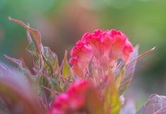 I fiori rossi della cresta di gallo del primo piano stanno fiorendo nel giardino meravigliosamente fotografie stock libere da diritti