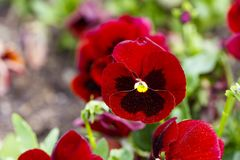 I fiori rossi della pansé sono blommong nel giardino immagini stock libere da diritti