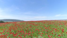 I fiori rossi in grano hanno archivato il giorno di molla soleggiato colpo Vista superiore del campo del papavero un giorno soleg immagini stock