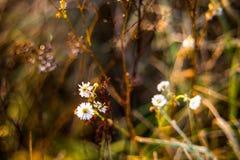 I fiori selvaggi della camomilla nella caduta asciugano il prato Fotografie Stock