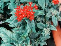 I fiori selvaggi rossi, i fiori fioritura e la molla sta venendo fotografie stock