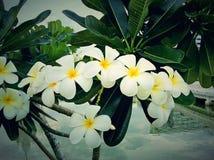 I fiori sono bianchi e bei sull'albero Fotografia Stock