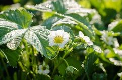 I fiori sono fragola, fragola con le gocce di rugiada Fotografia Stock Libera da Diritti