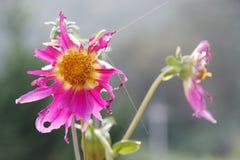 I fiori sono mangiati dai trattori a cingoli immagine stock