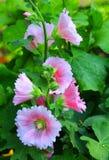 I fiori stanno fiorendo Fotografie Stock Libere da Diritti