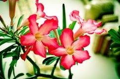 I fiori tropicali del frangipane rosso dal fuoco molle dell'albero tonificano l'annata Immagini Stock Libere da Diritti
