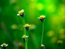 I fiori tropicali, il tridax procumbens o l'erba messicana della margherita fiorisce crescere nella campagna fotografie stock